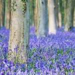 Bluebell download