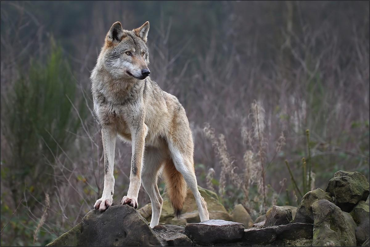 Cool Wallpaper High Resolution Wolf - 17_wolf  Pictures_915636.jpg