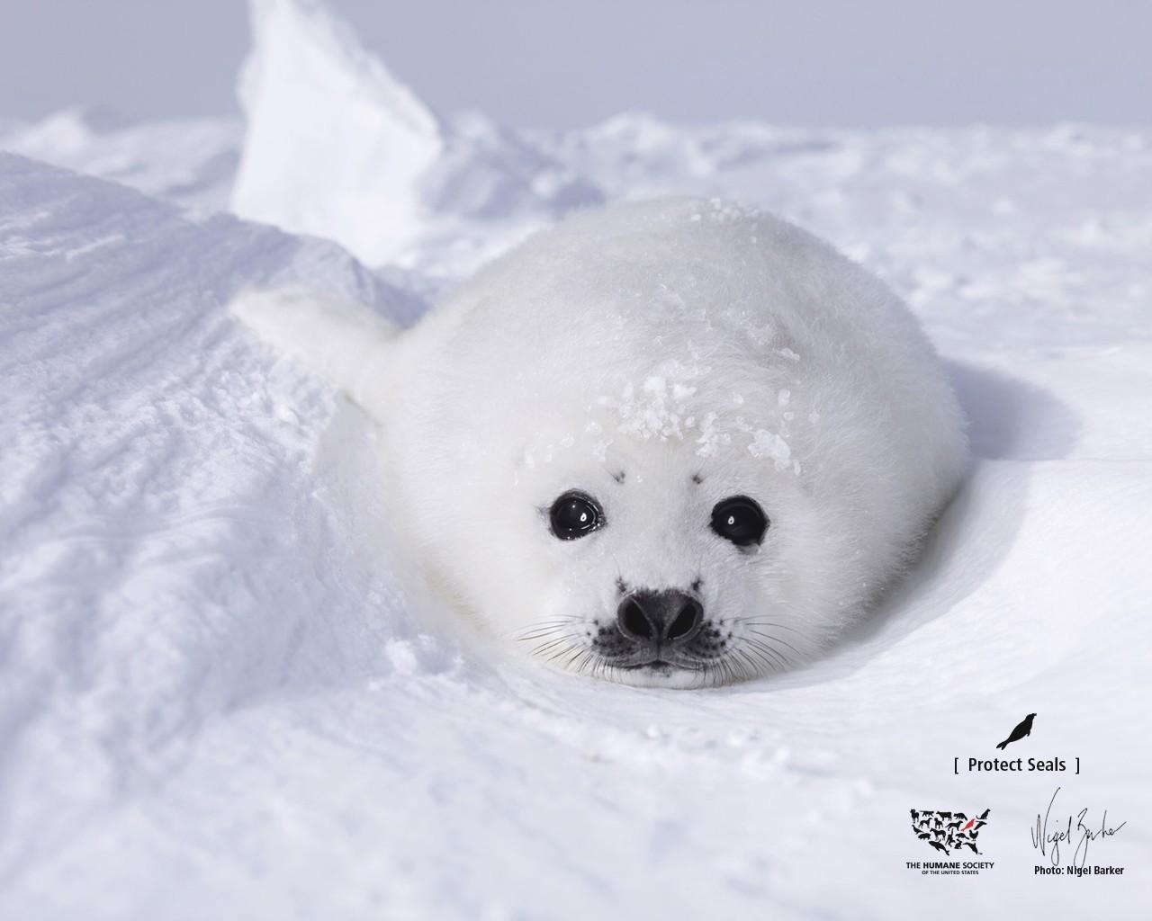 White seal wallpaper hd download - Download white background hd ...