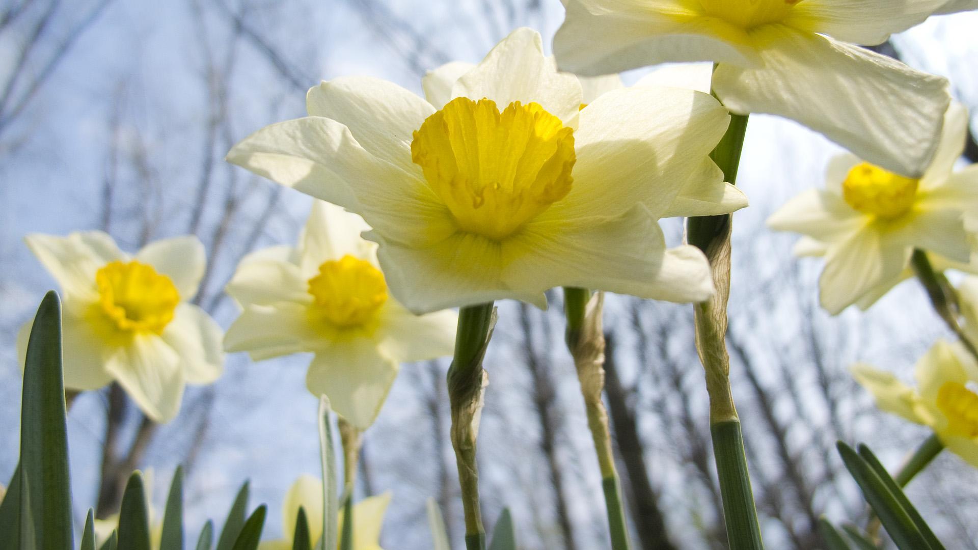 Daffodil wallpapers HD quality