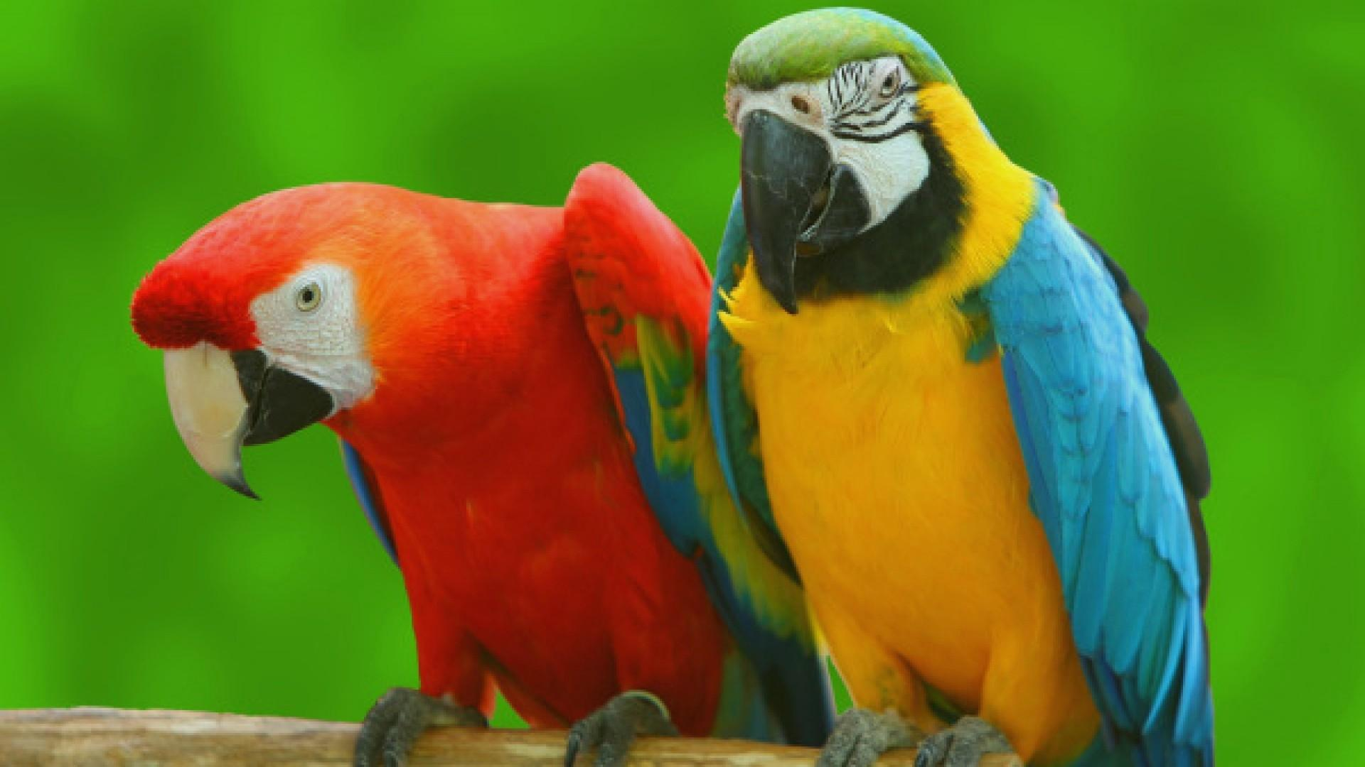 Parrot wallpapers HD quality
