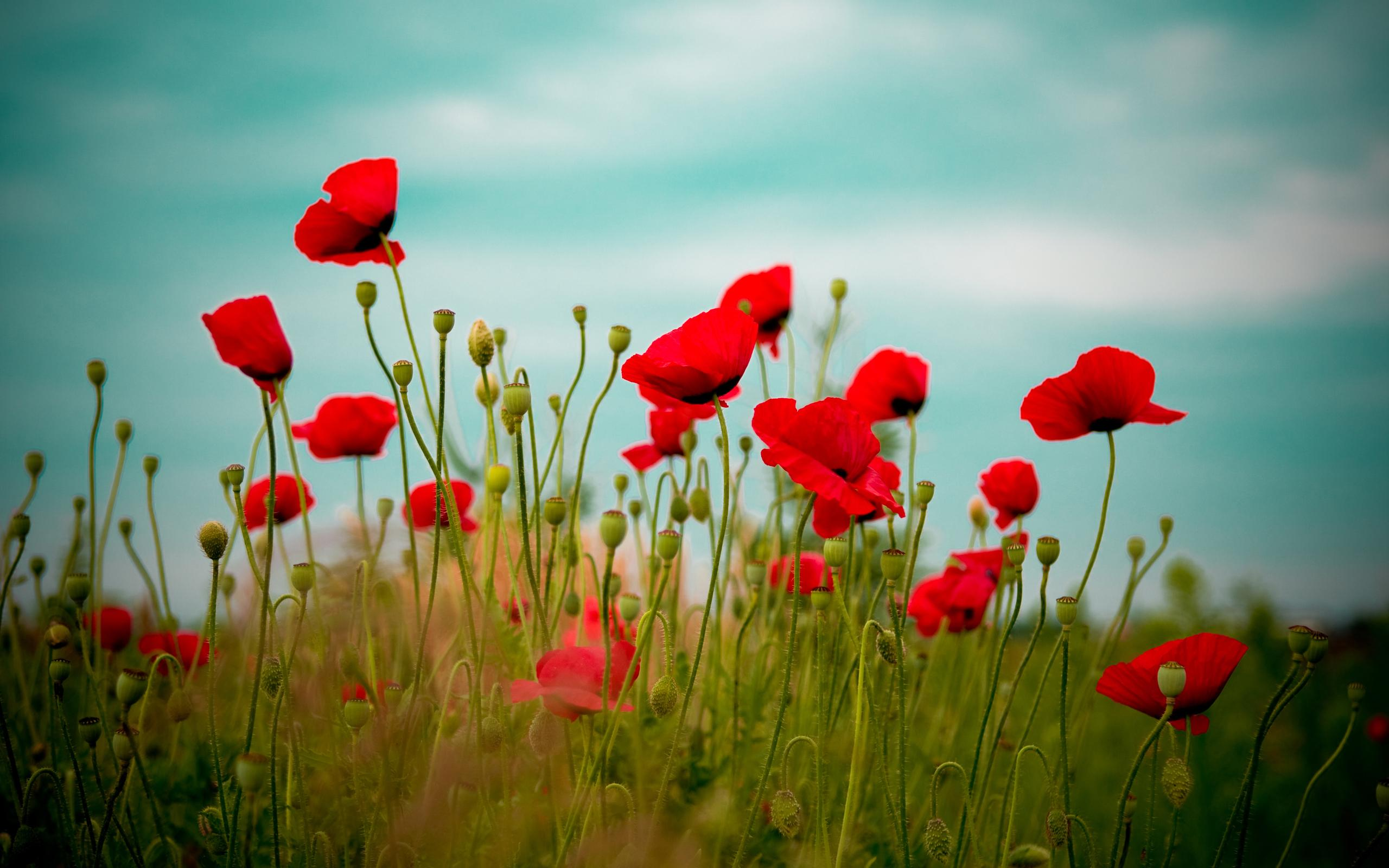 Poppy wallpapers HD quality