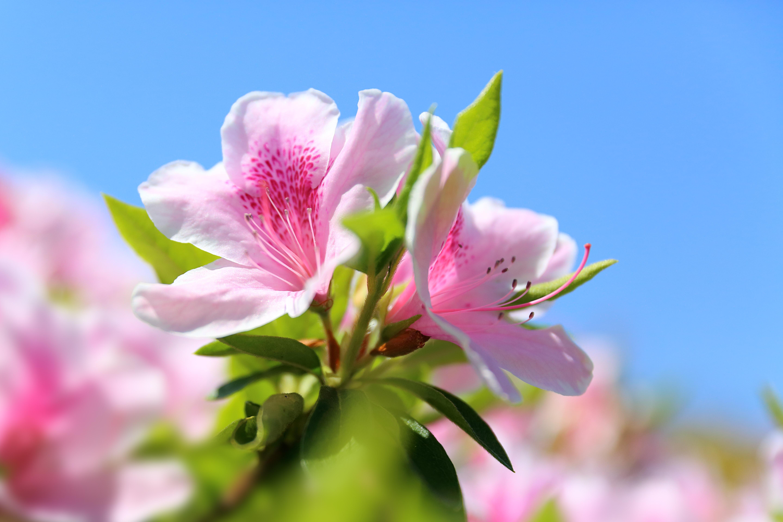азалия лепестки цветы  № 3898114 бесплатно