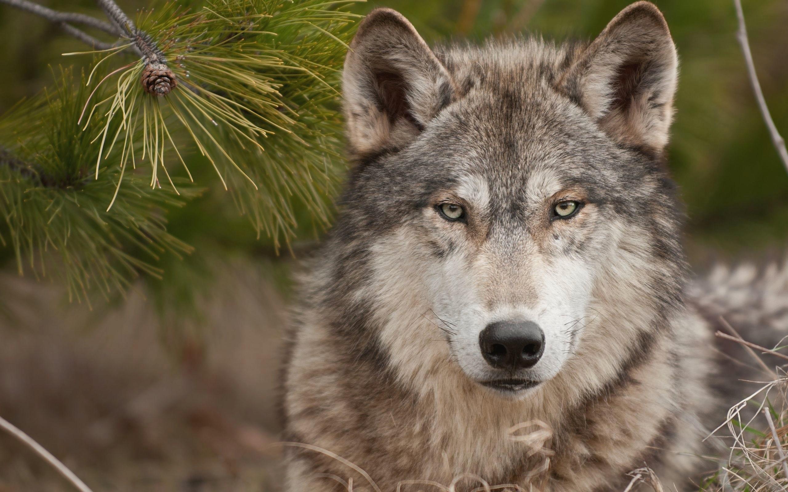 Wolf Wallpaper HD Download