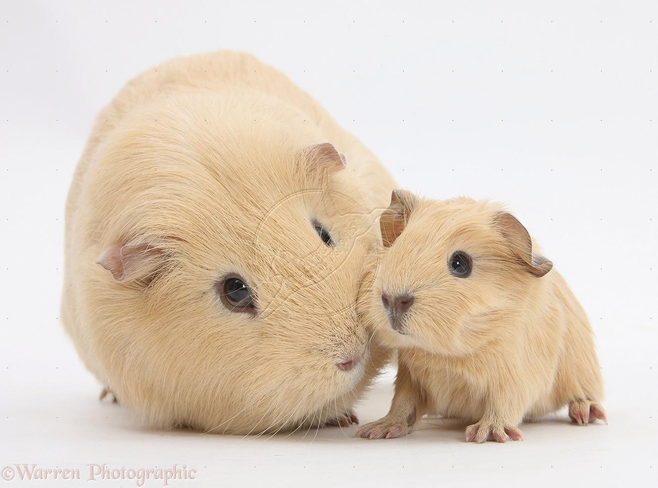 Guinea pig wallpaper hd download for Free guinea pig stuff