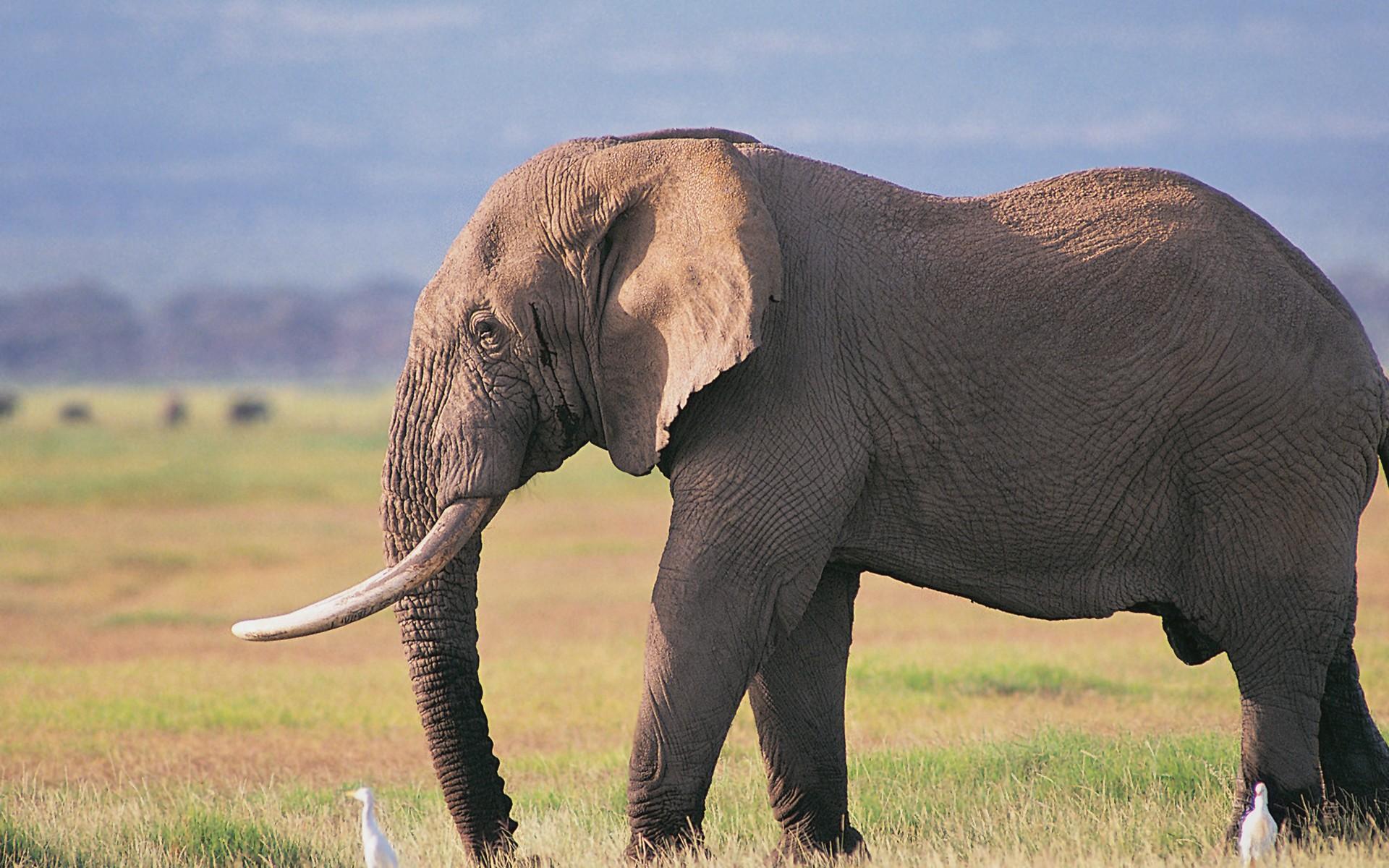 Elephant Wallpaper HD Download