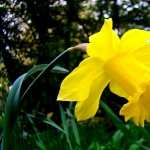 Daffodil new photos