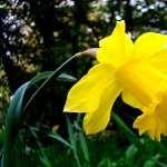 Daffodil new photos