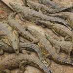 Crocodile high quality wallpapers