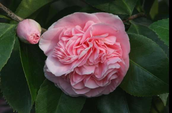 Camellias wallpapers hd quality