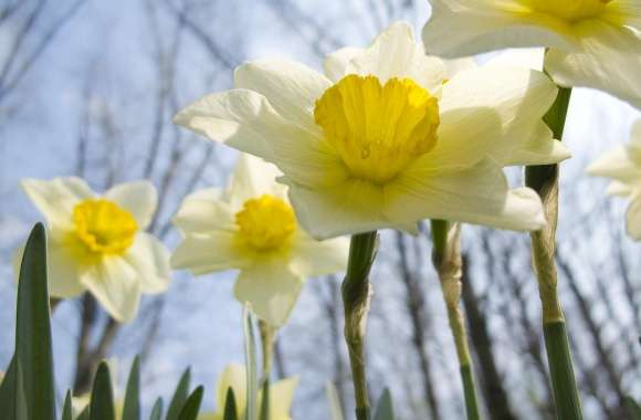 Daffodil wallpapers hd quality