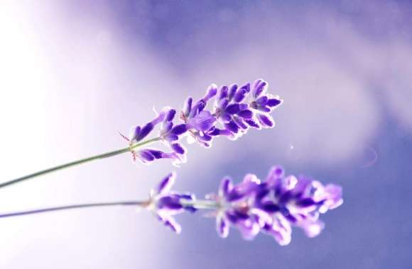 Lavender wallpapers hd quality