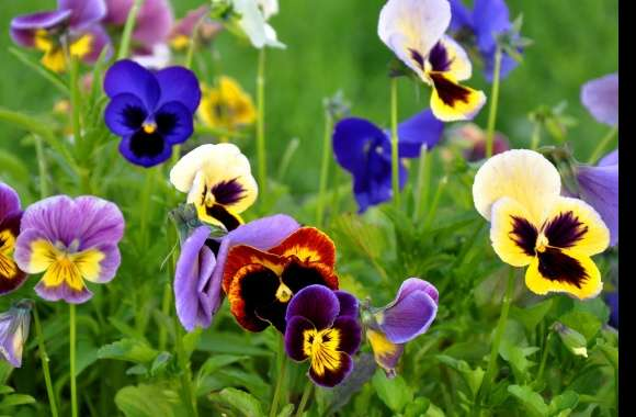 Pansy wallpapers hd quality