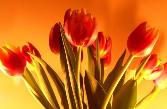 Tulip wallpapers hd quality