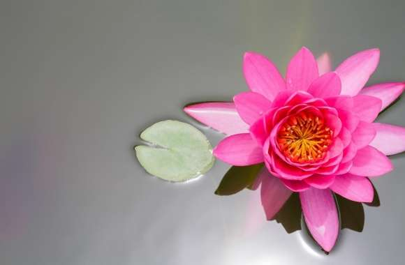 Water Lily wallpapers hd quality