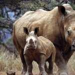 Rhino high quality wallpapers
