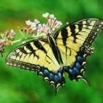 Butterflies download wallpaper