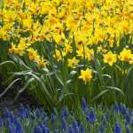 Daffodil wallpapers for desktop