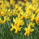 Daffodil free wallpapers