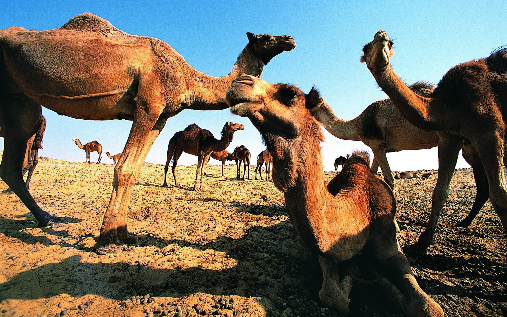стая верблюдов на берегу скачать