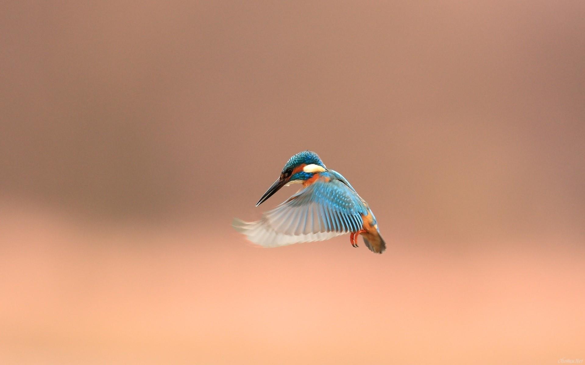 Kingfisher Calendar Wallpaper Download : Kingfisher wallpaper hd download