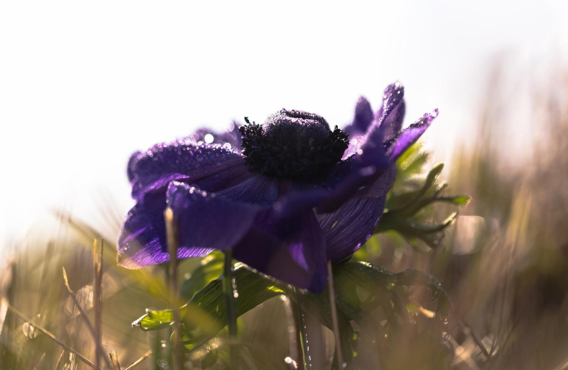 Anemone wallpapers HD quality