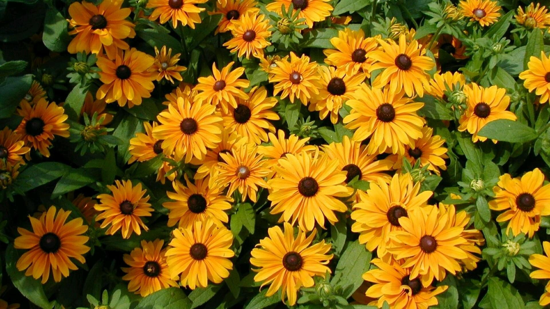 Black Eyed Susan Wallpaper Hd Download