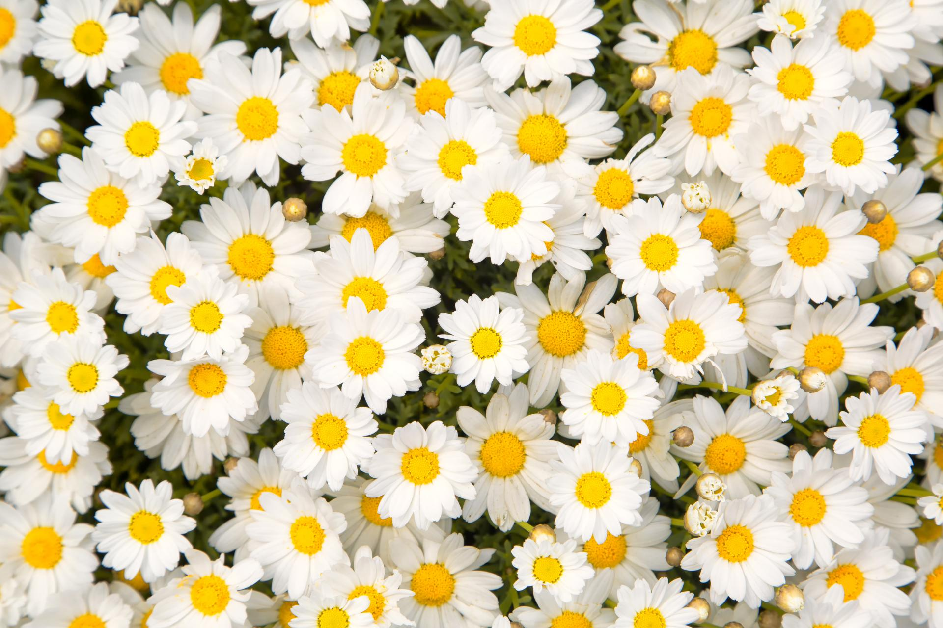 Camomile wallpapers HD quality