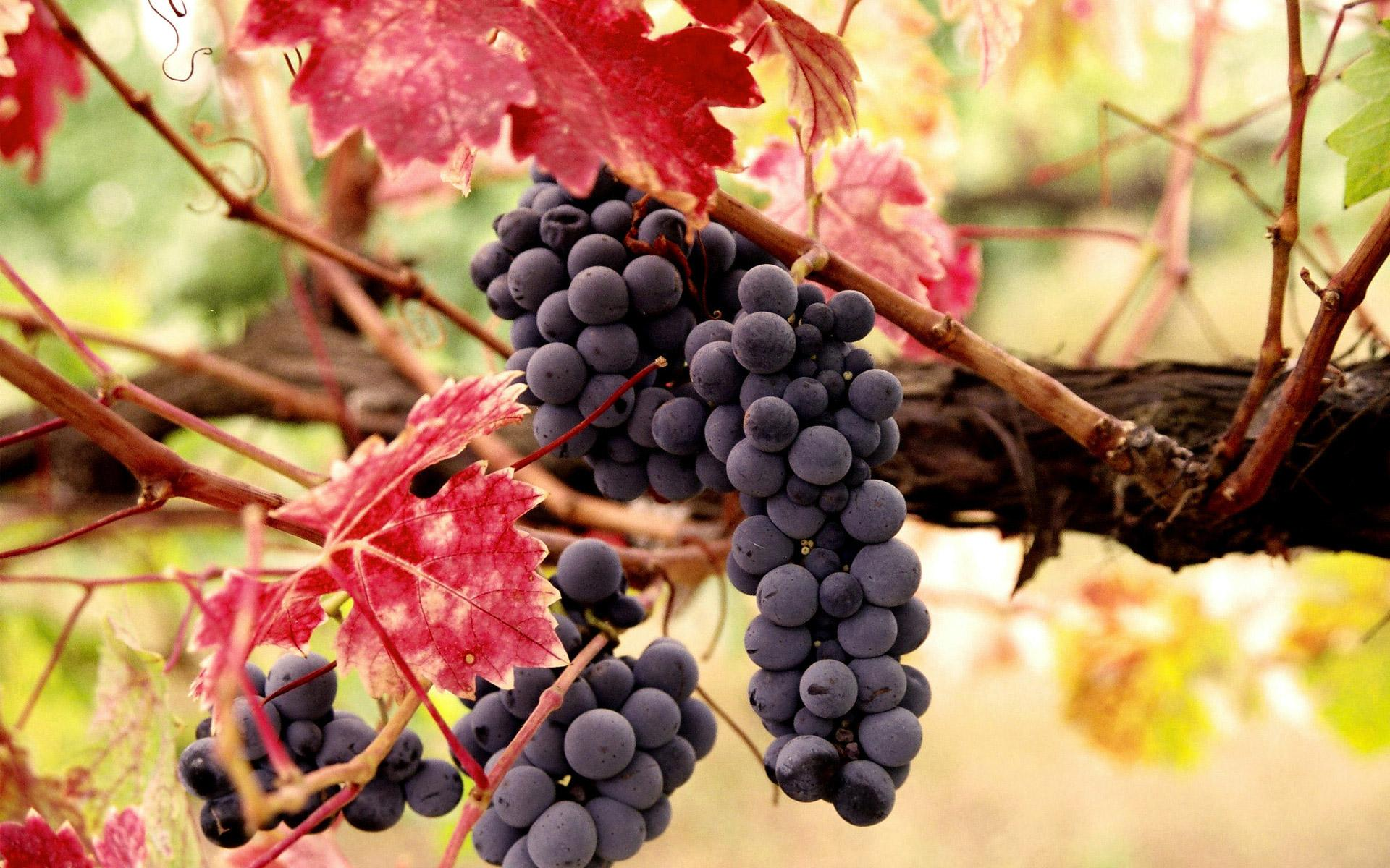 Grapes wallpapers HD quality