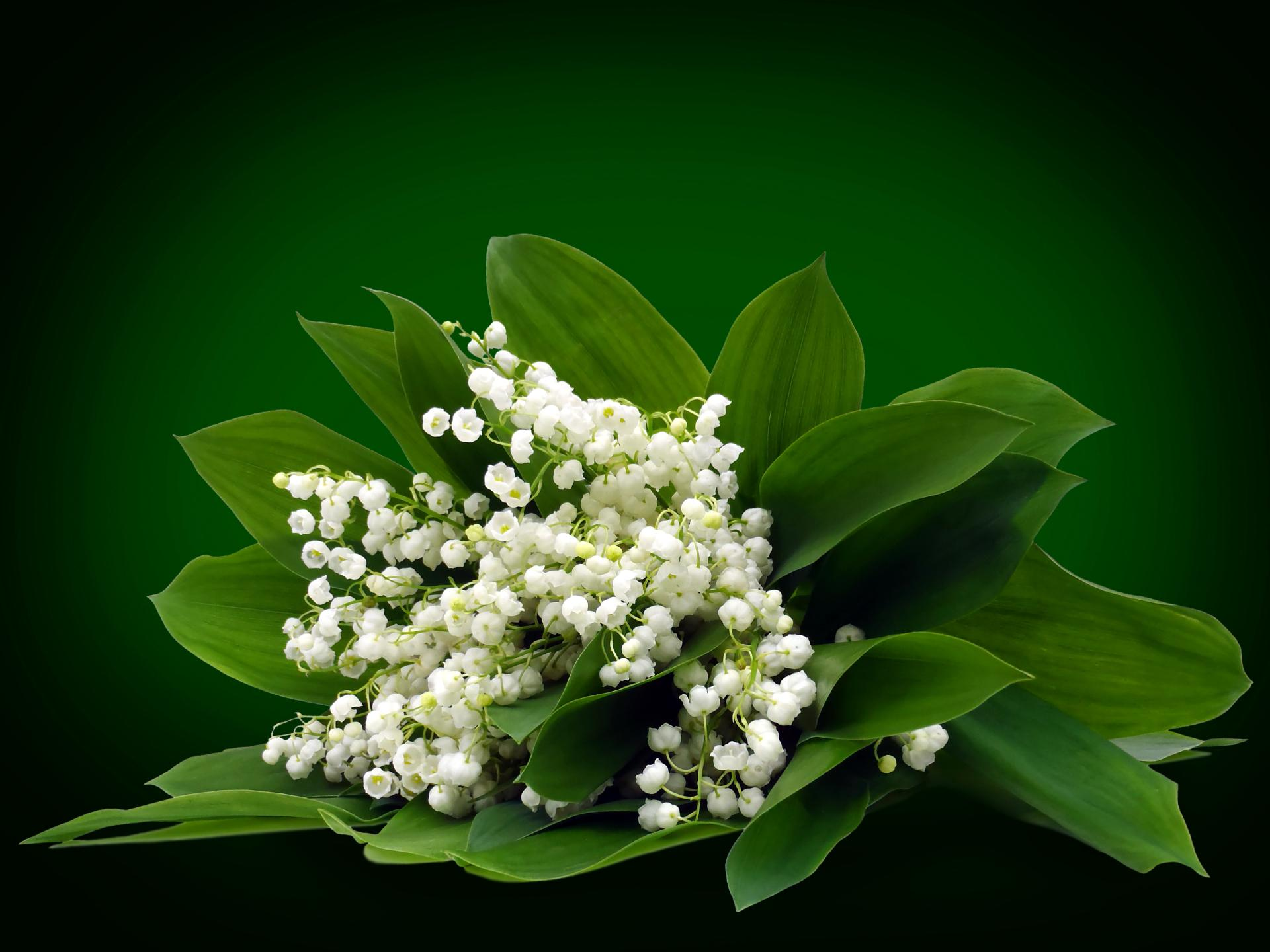 lily of the valley wallpaper hd download