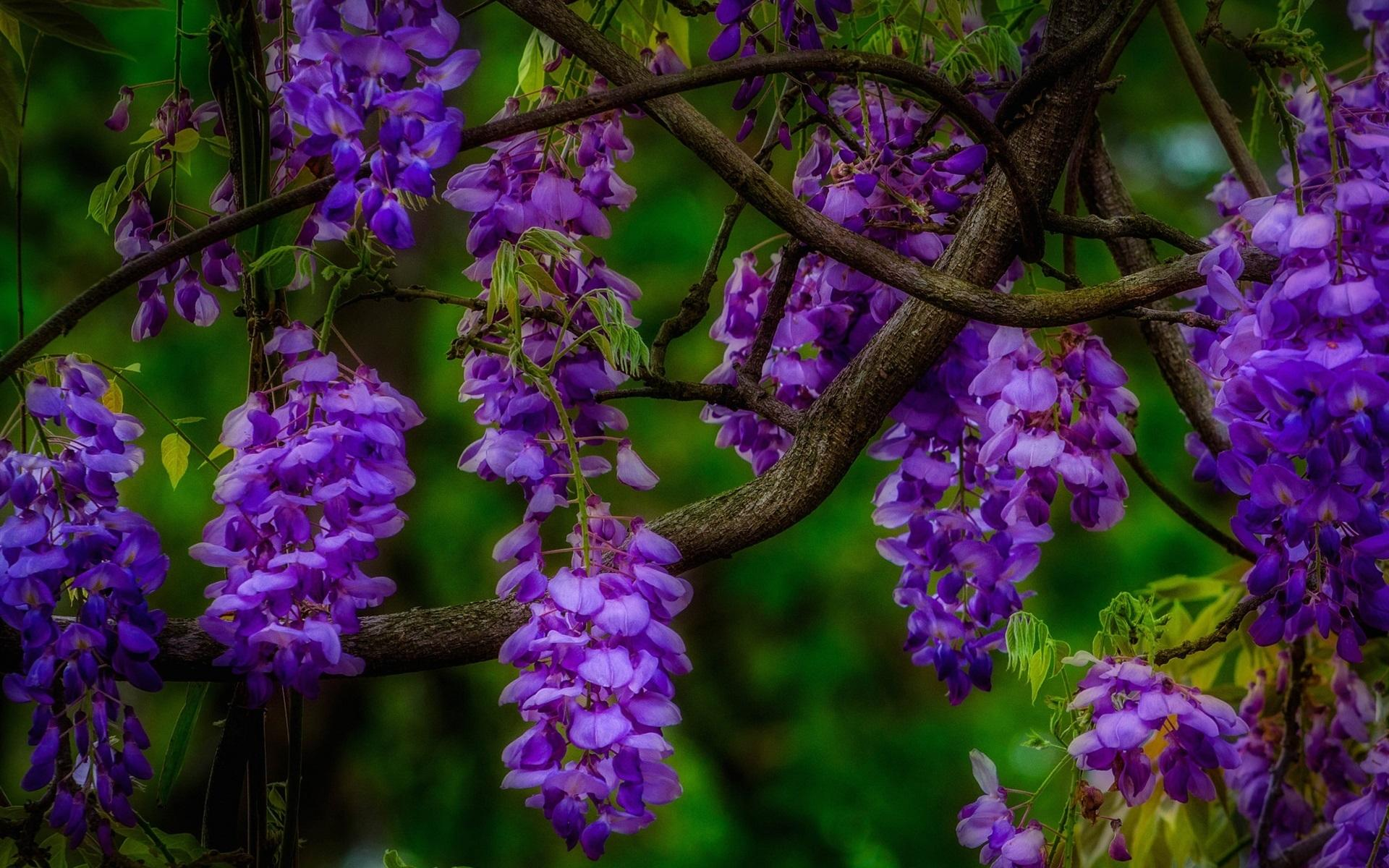 Wisteria wallpapers HD quality