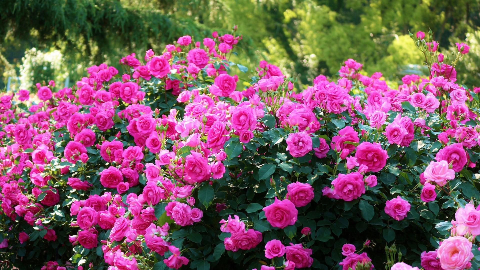 Rose Bush Wallpaper Hd Download