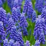 Hyacinth pic
