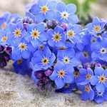 Forget-Me-Not full hd