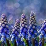 Hyacinth PC wallpapers