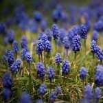 Hyacinth free wallpapers