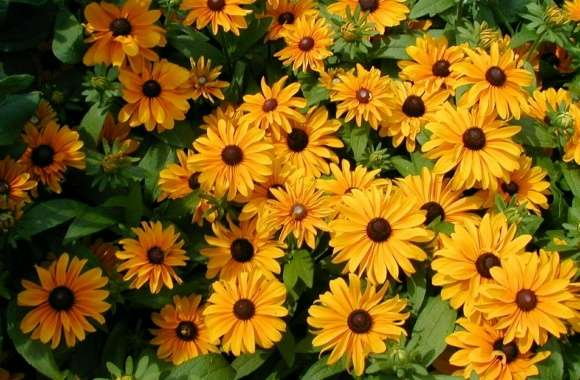 Black-Eyed Susan wallpapers hd quality