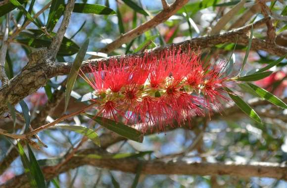 Bottlebrush wallpapers hd quality