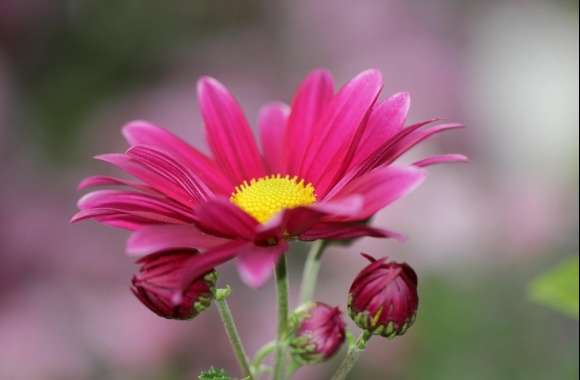 Chrysanthemum wallpapers hd quality