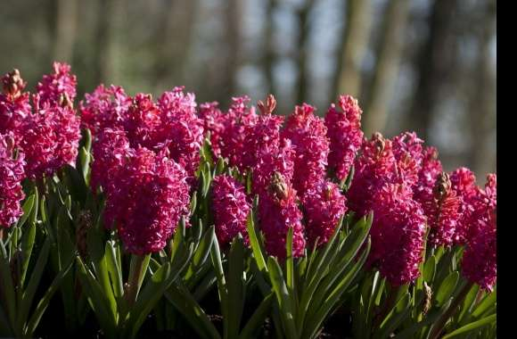 Hyacinth wallpapers hd quality