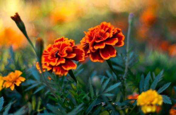 Marigold wallpapers hd quality