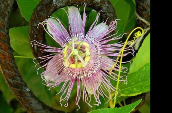 Passion Flower wallpapers hd quality