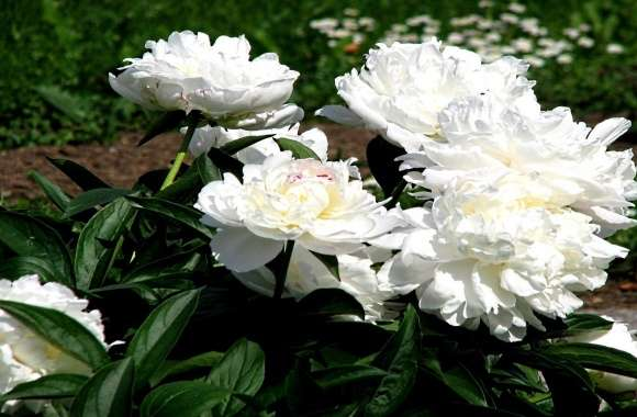 Peony wallpapers hd quality