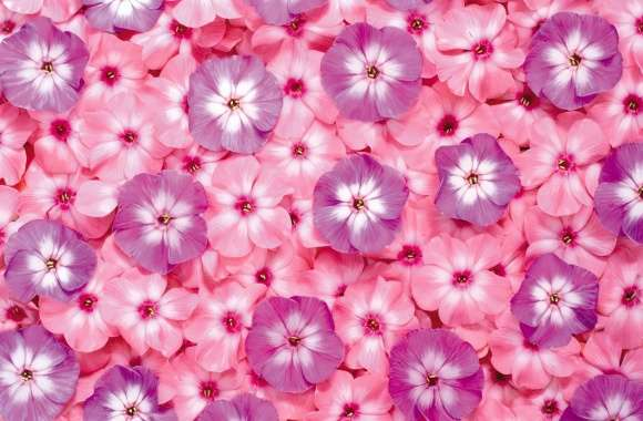 Phlox wallpapers hd quality