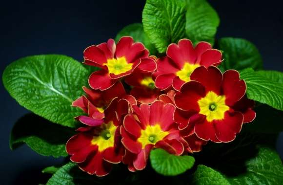 Primula wallpapers hd quality