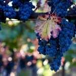 Grapes desktop wallpaper