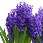 Hyacinth high definition photo
