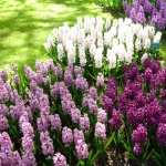 Hyacinth pics