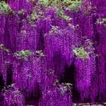 Wisteria download wallpaper