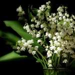 Lily Of The Valley full hd